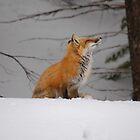 Snowy Red Fox by TangledWood