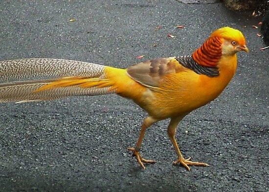 Yellow Pheasant by AnnDixon