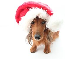 Sweet red-haired dachshund wearing Santa hat for Christmas by Kingsfairy