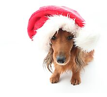 Sweet red-haired dachshund wearing Santa hat for Christmas Photographic Print