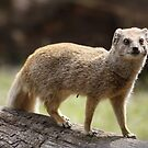 Yellow Mongoose by AnnDixon