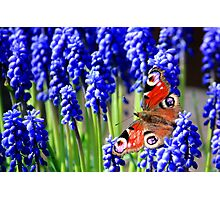 Red Admiral on grape hyacinth Photographic Print