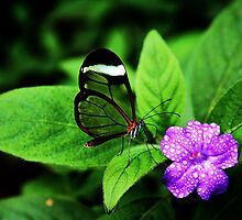 Glasswing Butterfly by coombs311
