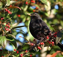 Blackbird and Winter Berries by RedMann
