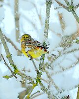 yellowhammer in the snow by Alan Mattison