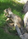 Rock Squirrel ~ Darn! Where's my nuts? by Kimberly Chadwick