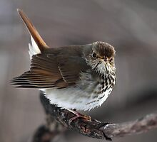 Heads Or Tails / Hermit Thrush by Gary Fairhead