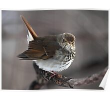 Heads Or Tails / Hermit Thrush Poster