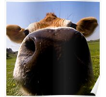 Big wet cow nose Poster