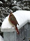 Cardinal in Snow by Veronica Schultz