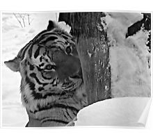 Dangerous, me?  Nah!  Come Closer (Amur Tiger) Poster