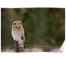 Short Eared Owl in the Snow Poster