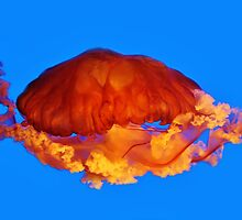 Sea Nettle by Paulette1021