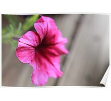 Lovely little petunia Poster
