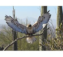 Ferruginous Hawk ~ It's Good!!!! Photographic Print