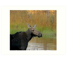 Maine Moose at dusk Art Print