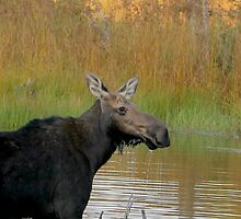 Maine Moose at dusk by Enola-Gay Wagner