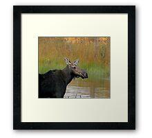 Maine Moose at dusk Framed Print