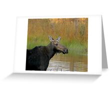 Maine Moose at dusk Greeting Card