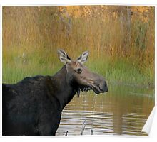 Maine Moose at dusk Poster