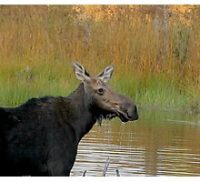 Maine Moose at dusk Photographic Print