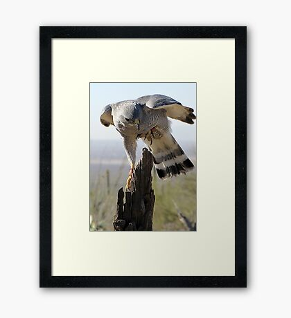 Gray Hawk  Framed Print