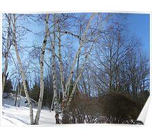 Beautiful Birches Poster