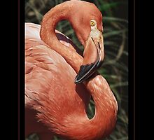 CARIBBEAN FLAMINGO Phoenicopterus ruber (NOT A PHOTOGRAPH OR PHOTOMANIP) by DilettantO