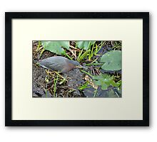 Green Heron ... Framed Print
