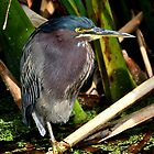 Green Heron by Dennis Stewart