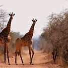 ELEGANT OR NOT? - Giraffa camelopardalis by Magriet Meintjes