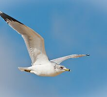 Ring-Billed Gull by Joe Elliott