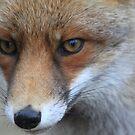 Red Fox - 1363 by DutchLumix