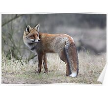 Red Fox - 1432 Poster