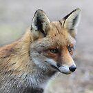 Red Fox - 1384 by DutchLumix