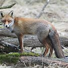 Red Fox - 1447 by DutchLumix