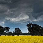 Canola Fields by imagesbyjillian