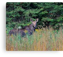 Moose in the meadow Canvas Print