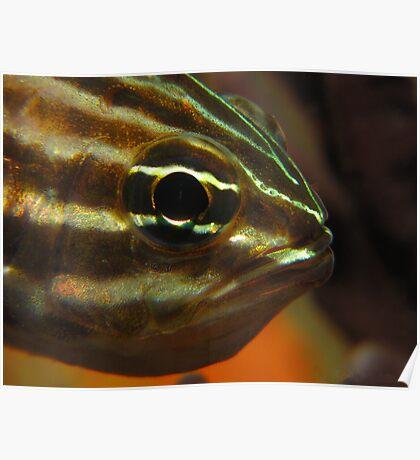 Sydney Cardinalfish Close up Poster