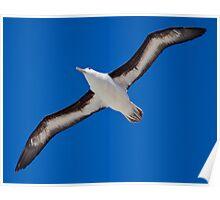 Soar (Black-Browed Albatross, Falklands) Poster