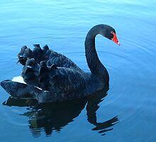 The Black Swan by Brian Beckett