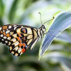 Lemon Butterfly - Papilio demoleus by Lepidoptera
