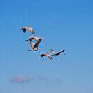 Sandhill Cranes in Flight by Molly  Kinsey