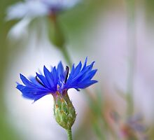 Cornflower by Mandy Disher