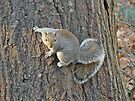 Gray Squirrel (Sciurus carolinensis) by MotherNature