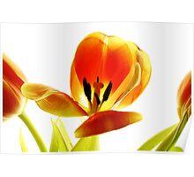orange tulip #1 Poster