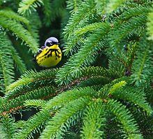 Magnolia Warbler in fir canopy by PixlPixi