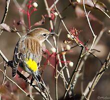 Yellow-rumped Warbler by PixlPixi