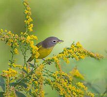 Nashville Warbler on goldenrod by PixlPixi