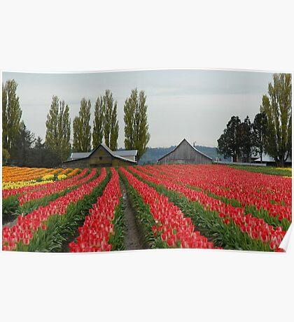 Tulips in Skagit Valley ~Washington state Poster